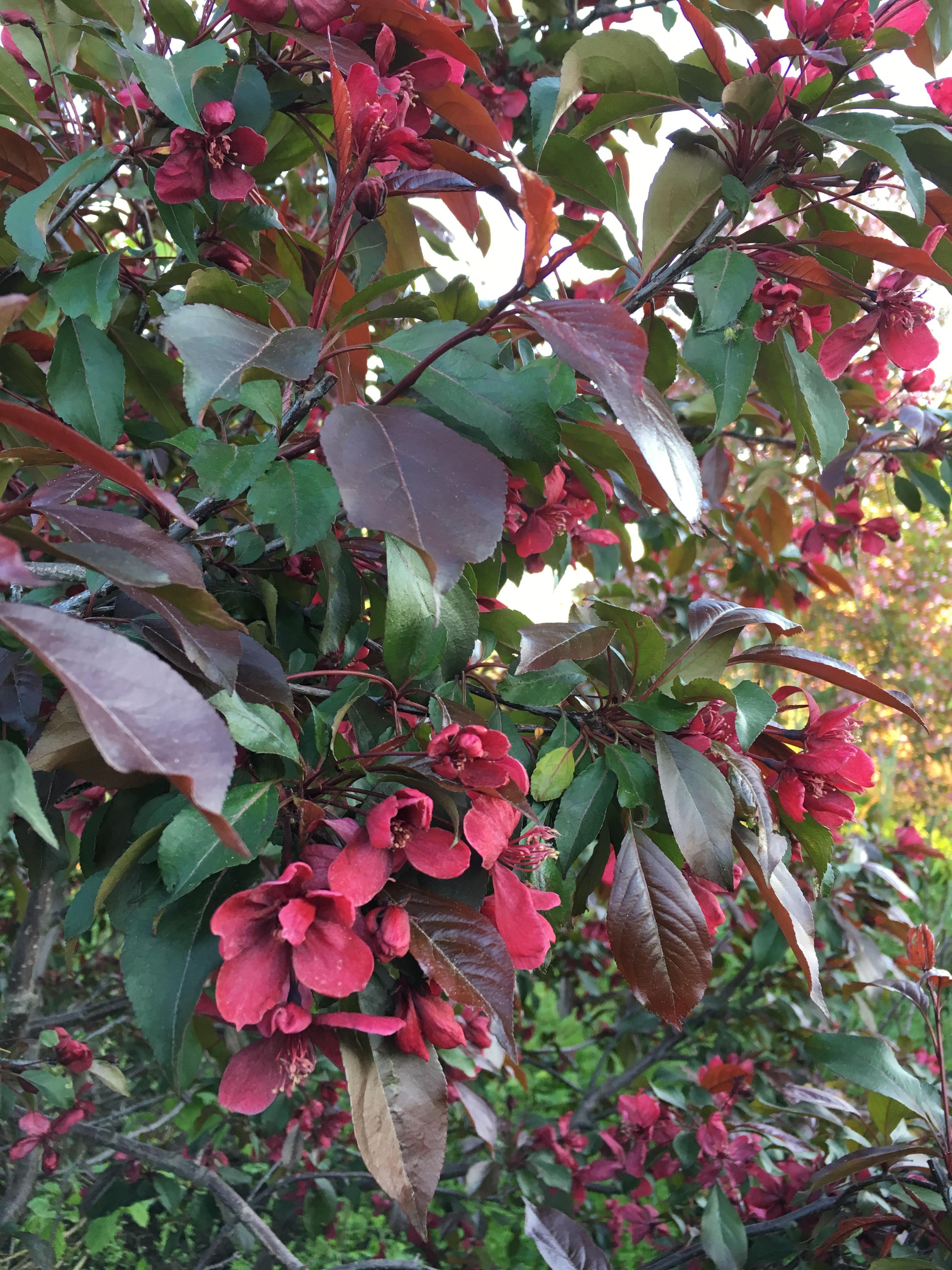 яблоня с красными листьями и цветами названия